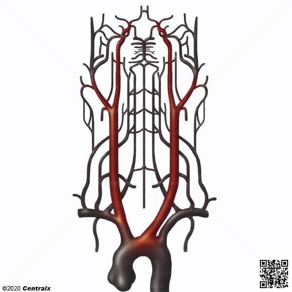 Artérias Carótidas