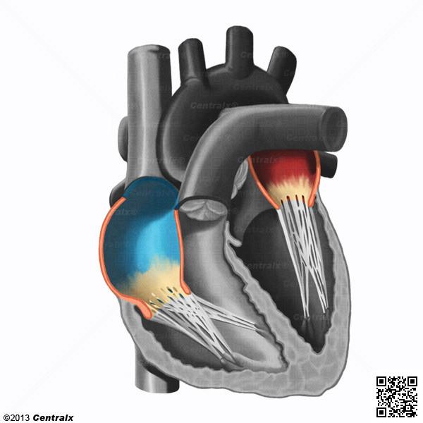 Átrios do Coração