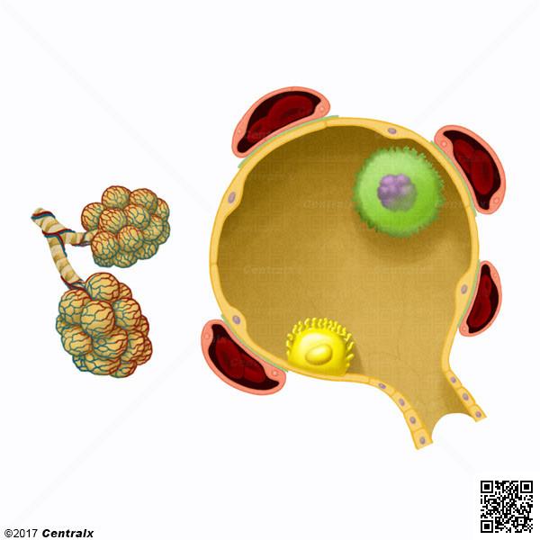 Macrófagos Alveolares