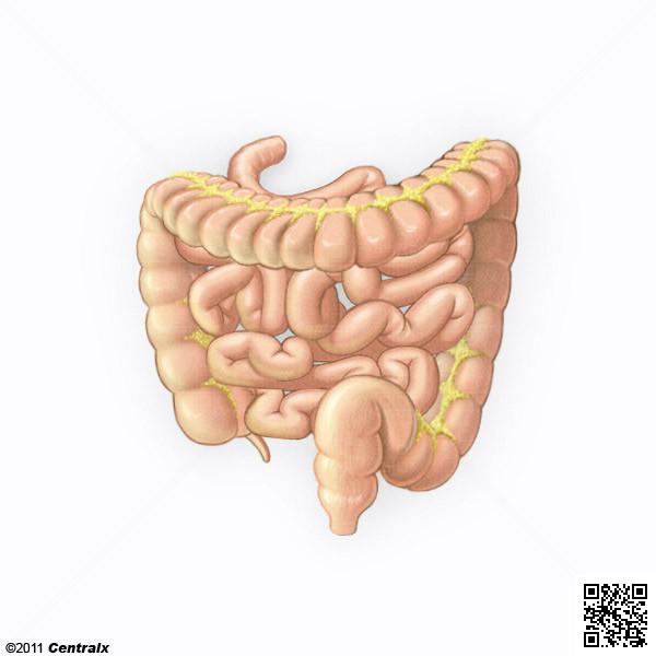 Intestinos