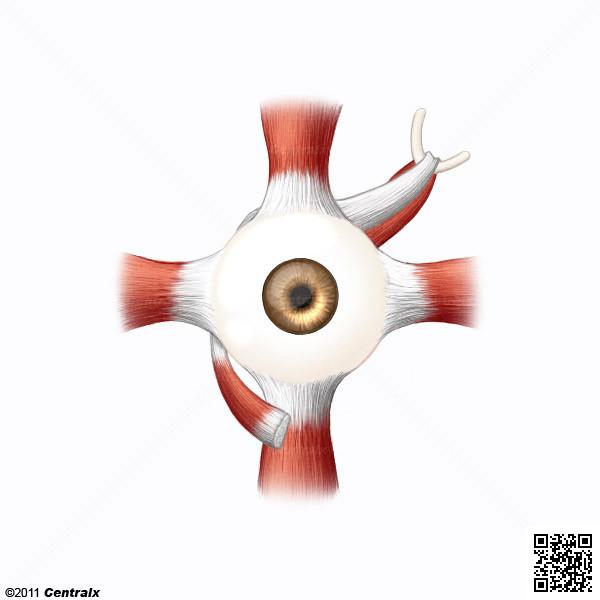 Músculos Oculomotores