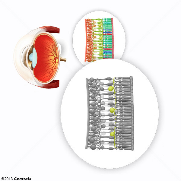 Células Horizontais da Retina