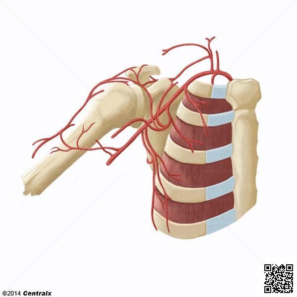 Artéria Axilar