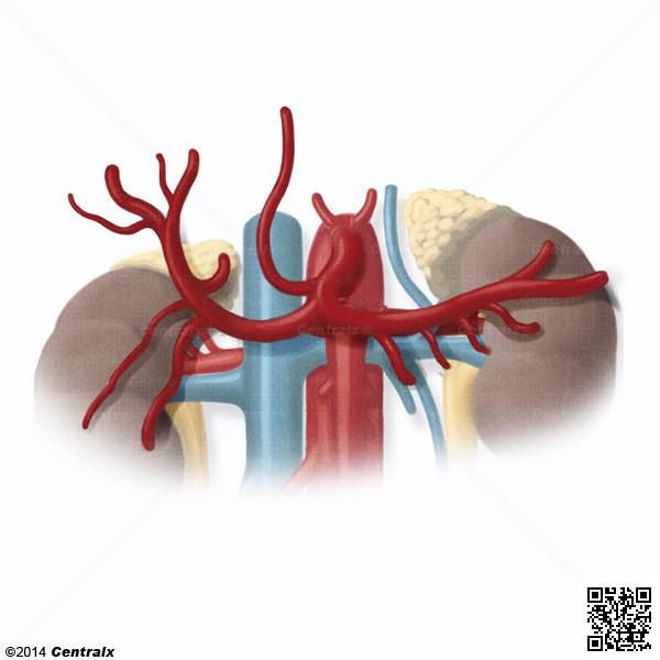 Artéria Hepática