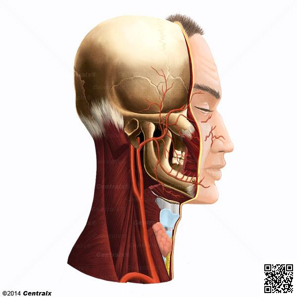 Artéria Maxilar