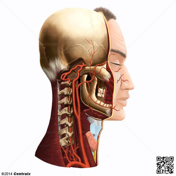 Artéria Vertebral