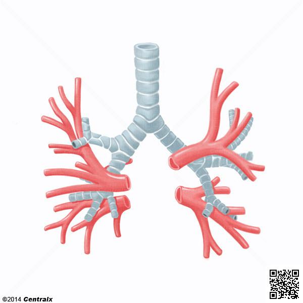 Artérias Brônquicas