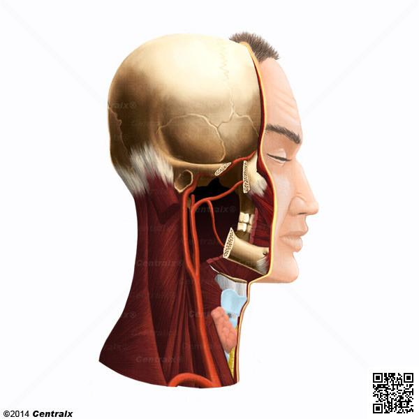 Artéria Carótida Primitiva
