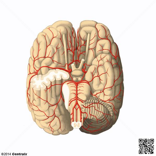 Artérias Cerebrais