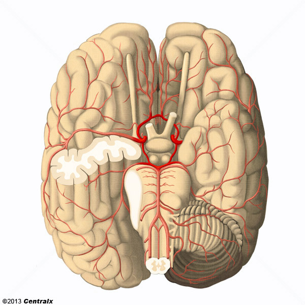 Círculo Arterial do Cérebro