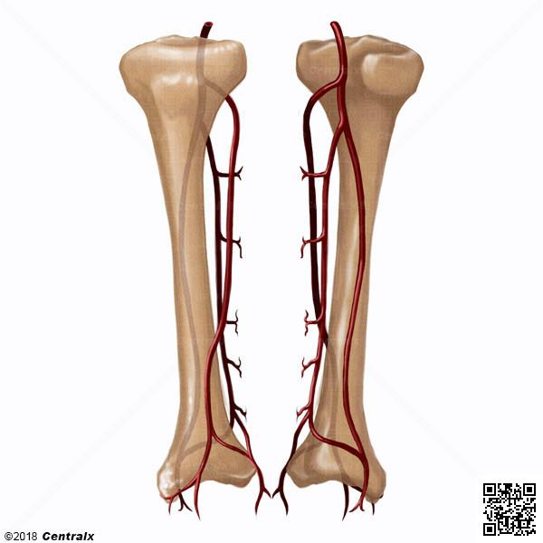 Artérias da Tíbia