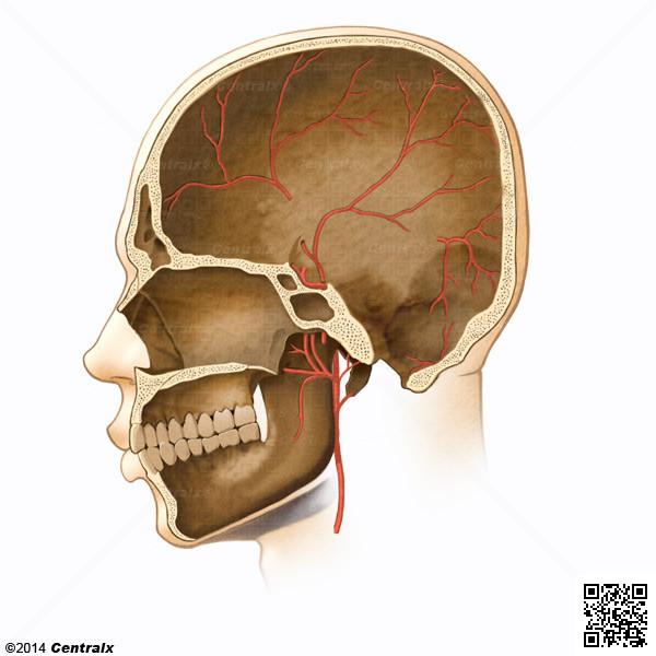 Artérias Meníngeas