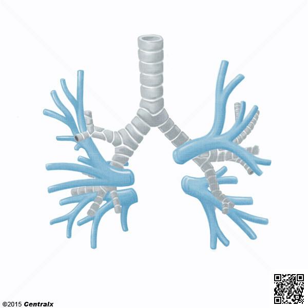 Veias Pulmonares