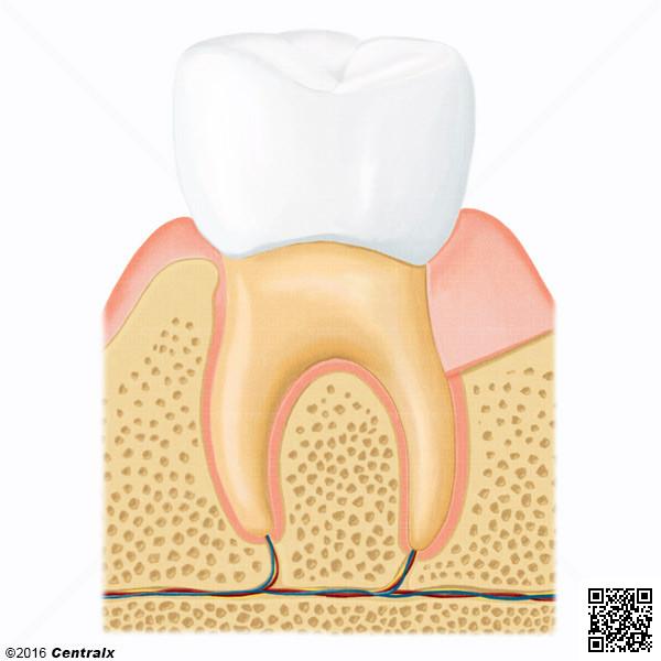 Dente Molar