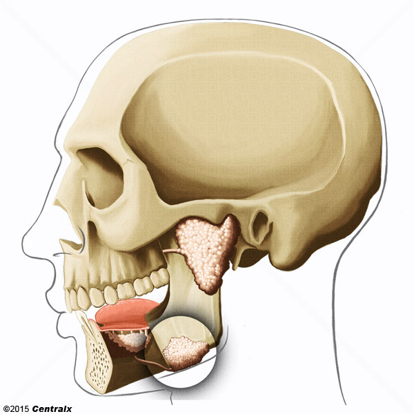 Glândula Submandibular
