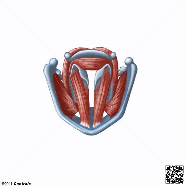 Músculos Faríngeos