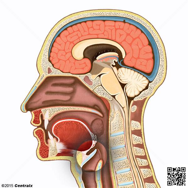 Epiglote