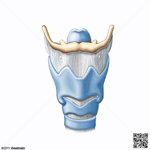 Cartilagens Laríngeas