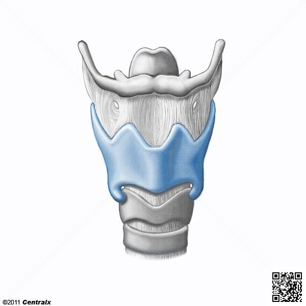 Cartilagem Tireóidea