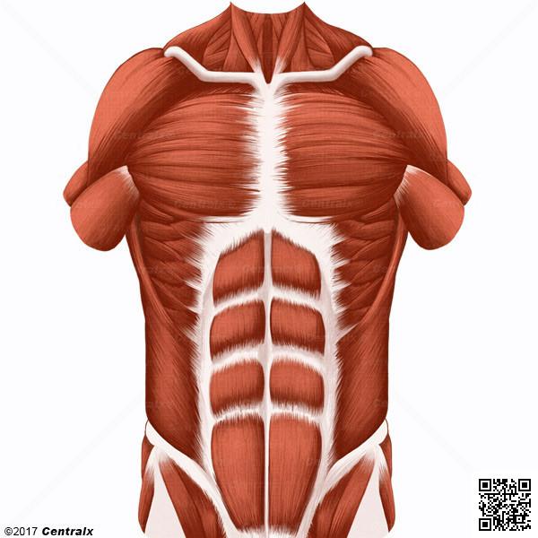 Músculos Abdominais