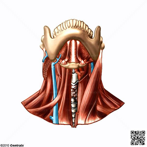 Músculos do Pescoço