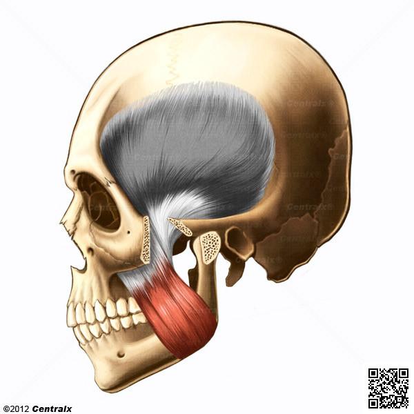 Músculo Masséter