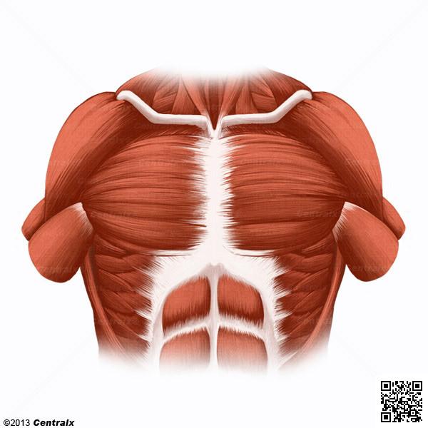 Músculos Peitorais