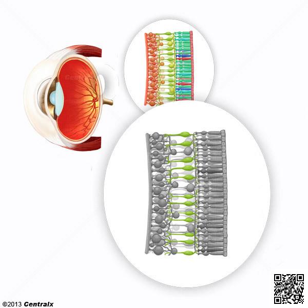 Células Bipolares da Retina