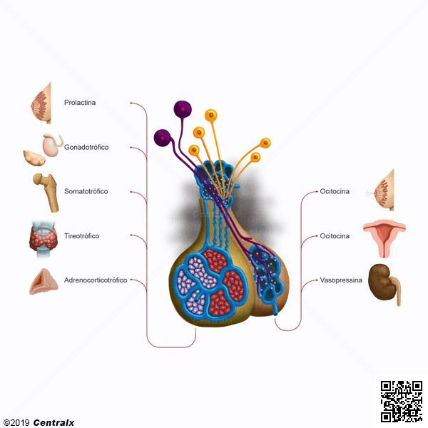 Sistema Hipotálamo-hipofisário