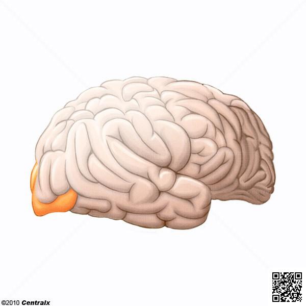 Lobo Occipital
