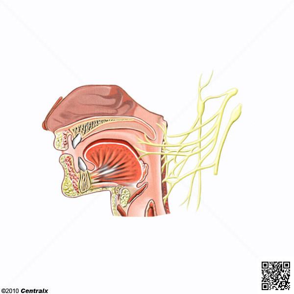 Nervo Glossofaríngeo