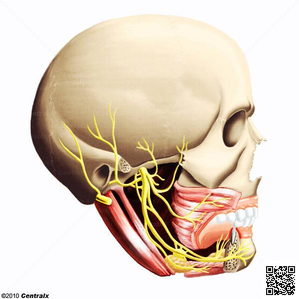 Nervo Mandibular