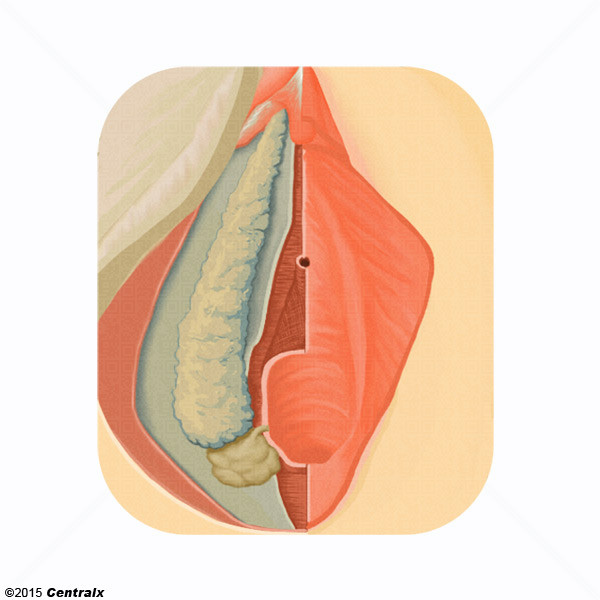 Glândulas Vestibulares Maiores
