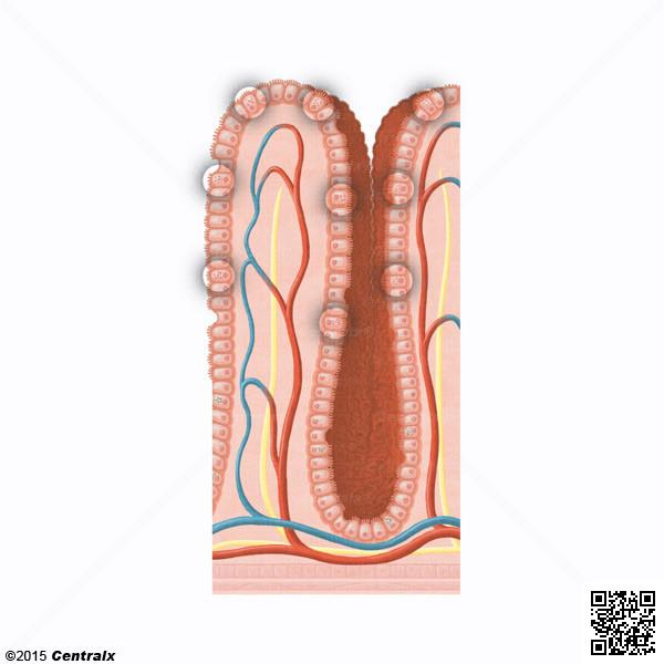 Celulas de Paneth
