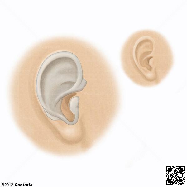 Cartilagem Elástica