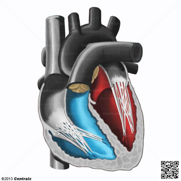 Ventrículos do Coração