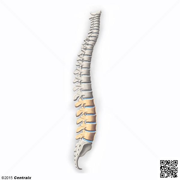 Vértebras Lombares