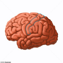 Córtex Somatosensorial