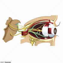 Nervo Oculomotor