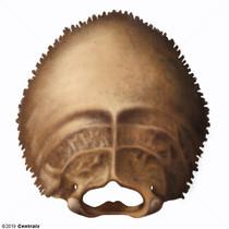 Osso Occipital