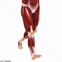 Perna (Anatomia)