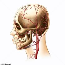 Artérias Temporais