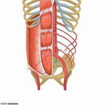Artérias Epigástricas