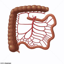 Artéria Mesentérica Superior