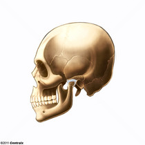 Disco da Articulação Temporomandibular