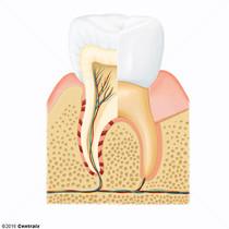 Componentes do Dente