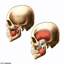 Músculos Mastigatórios