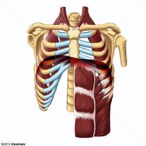 Músculos Respiratórios