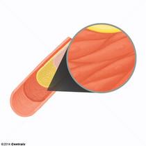 Músculo Liso Vascular