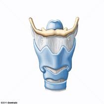 Cartilagens Lar�ngeas